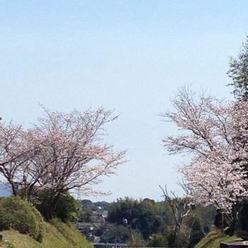 納骨堂の桜02.JPG